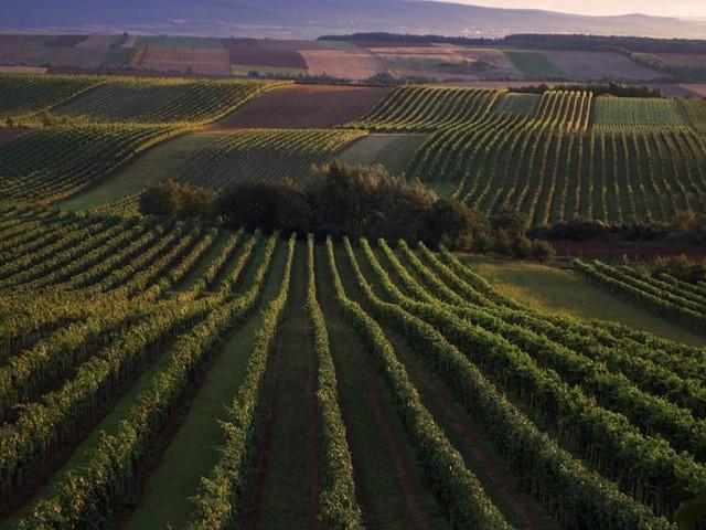 Herkunftsfrage: Dem Ursprung des Weins auf der Spur