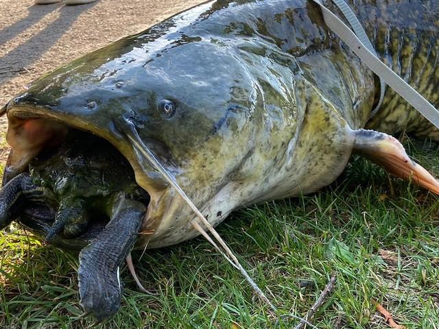 Beide Tiere tot - Ungewöhnlicher Fang am Göttinger Kiessee: 40-Kilo-Wels verschluckt sich an Schildkröte
