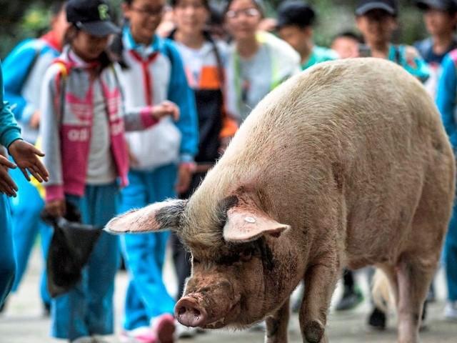 China trauert um legendäres Schwein, das nach Erdbeben 36 Tage unter Trümmern überlebte