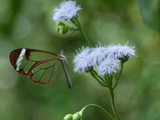 Wie Schmetterlinge ihre Flügel durchsichtig machen