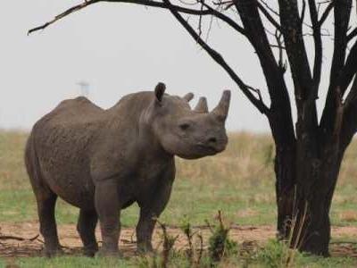 2020 gilt als Ausnahmejahr: Wohl wegen eines der weltweit striktesten Corona-Lockdowns war die Zahl der gewilderten Nashörner in Südafrika gesunken.
