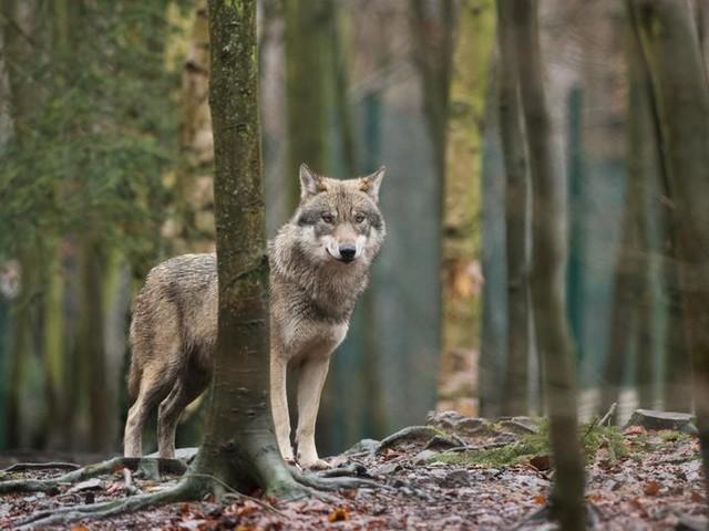 Zwei Wölfe aus Wildpark ausgerissen - einer tot