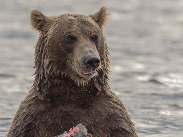 Alaska wählt den dicksten Braunbären
