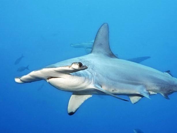 Atlantischer Ozean: Hammerhai überrascht Touristengruppe vor Teneriffa