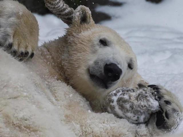 Zoos: Berliner Tierpark: Schock über Inzucht bei Eisbären