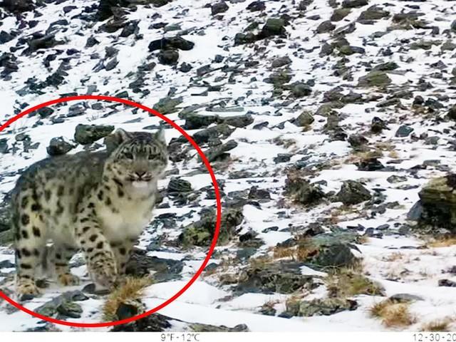 Kasachstan: WWF-Kameras dokumentieren: Erster Schneeleopard seit fünf Jahren gesichtet