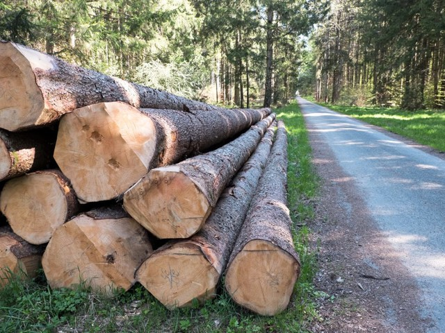Wegen Lieferengpässen: Altmaier will mehr Fichten fällen lassen