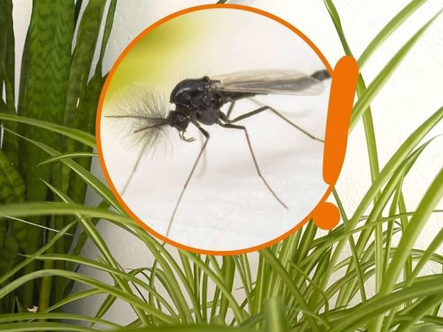 Trauermücken in der Blumenerde: Nervige Fliegen mit Tricks bekämpfen