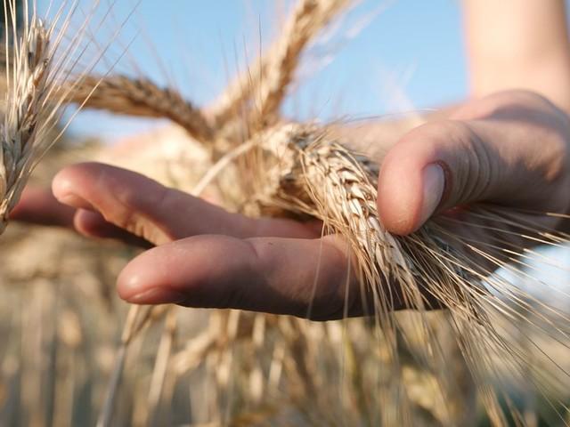 Les caprices de la pluviométrie ralentissent la production céréalière du Maroc