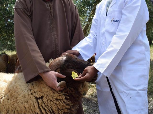 ONSSA : Aid Al Adha s'est déroulée dans de bonnes conditions d'hygiène et de santé animale