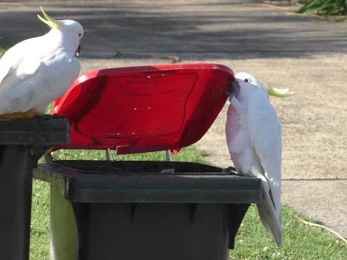 Comment les cacatoès apprennent à ouvrir les poubelles