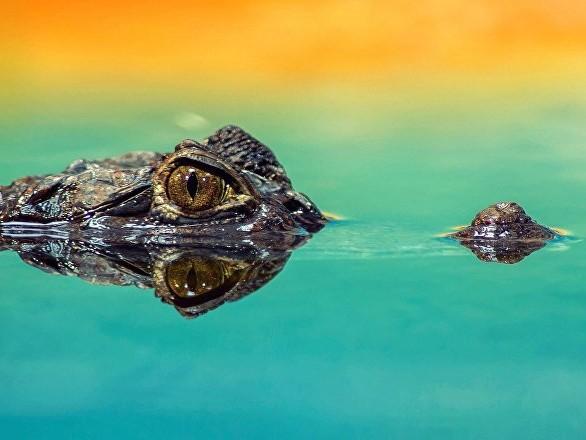 Un crocodile happe un chien avant de l'entraîner sous l'eau en Australie (vidéo)