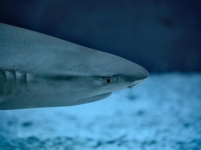 Un requin bleu provoque l'évacuation d'une plage à Arcachon