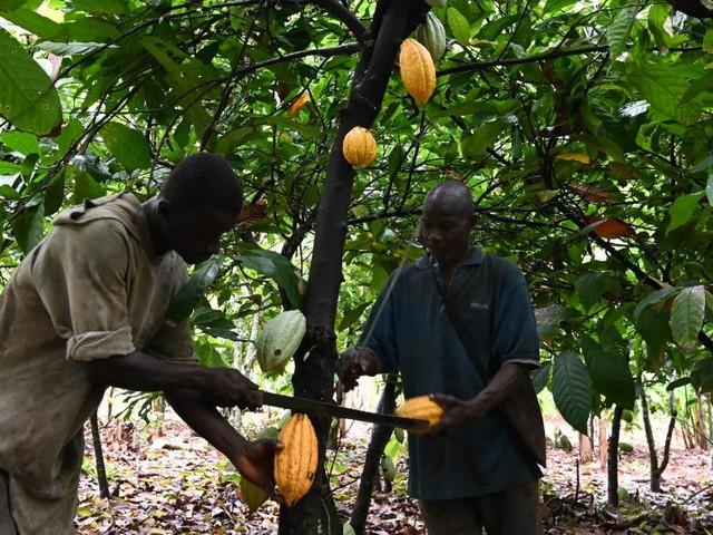 [Reportage] En Côte d'Ivoire, le blues des planteurs de cacao