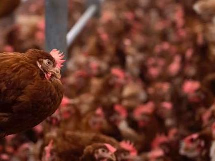 Six nouveaux établissements français concernés par les œufs au fipronil