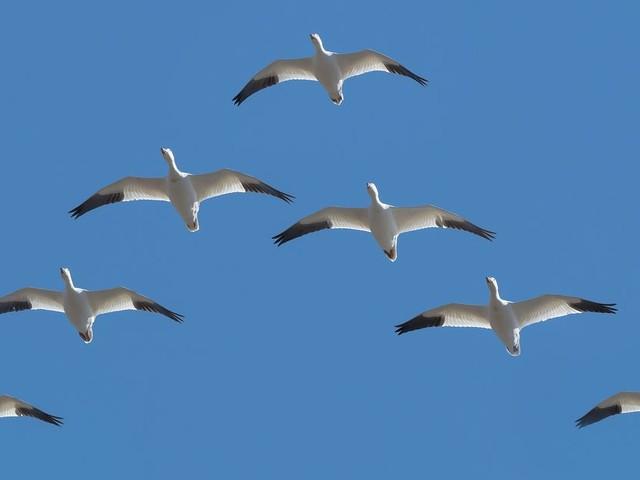 Airbus veut réduire la pollution liée au trafic aérien en s'inspirant du vol des oiseaux migrateurs