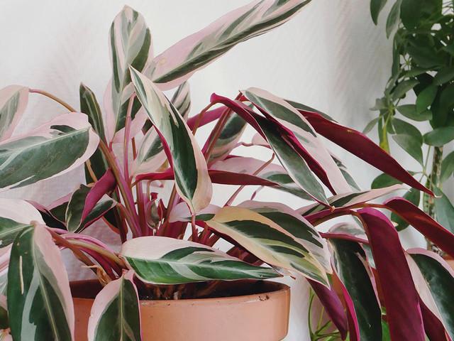 Ces plantes vertes ne sont pas vertes… mais roses !