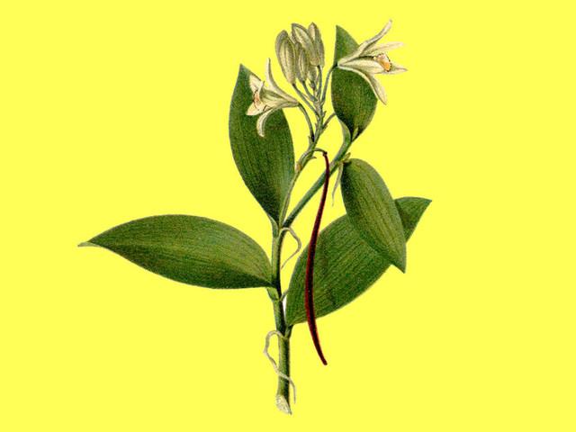 Horticulture. De la vanille sous le soleil du Nord