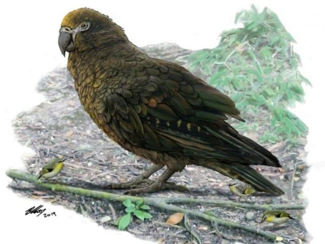 Il y a environ 18 millions d'années, un perroquet géant vivait en Nouvelle-Zélande