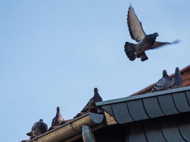 L'AFSCA le confirme: un cas de paramyxovirose confirmé chez un éleveur de pigeons à Houffalize