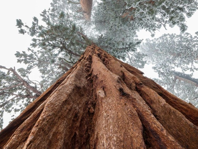 Voilà pourquoi le plus grand arbre du monde est emballé dans une couette d'aluminium