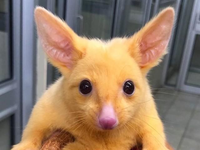Australie : un opossum surprend par sa ressemblance avec Pikachu