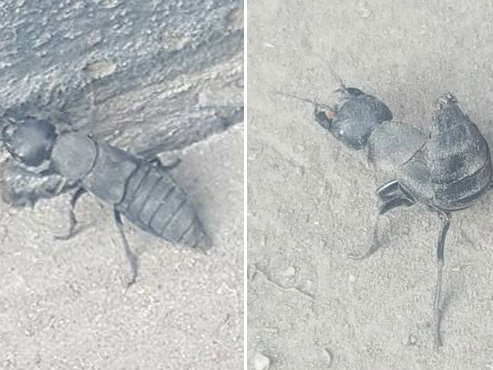 """Cet insecte ressemble à un scorpion et peut dégager une mauvaise odeur, mais """"c'est une bonne chose de le rencontrer dans les jardins"""""""