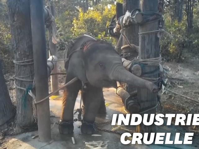 """Le dressage des """"éléphants à touristes"""" dévoilé dans une vidéo"""