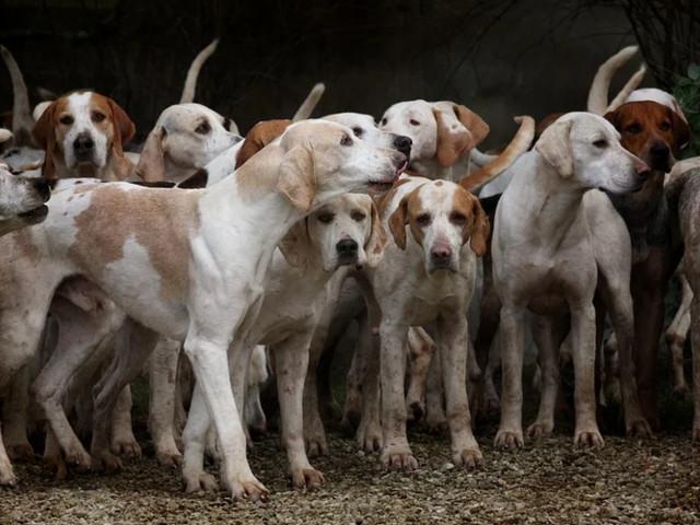 Femme enceinte tuée dans l'Aisne : aucun des chiens de chasse n'est impliqué, affirme la société de vénerie