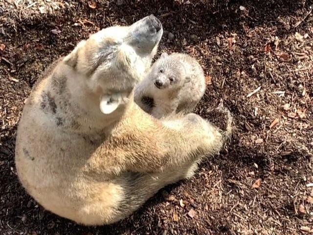 Première sortie d'un ours polaire au zoo de Mulhouse
