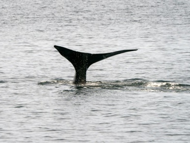 Le Canada annonce de nouvelles mesures pour protéger la baleine noire