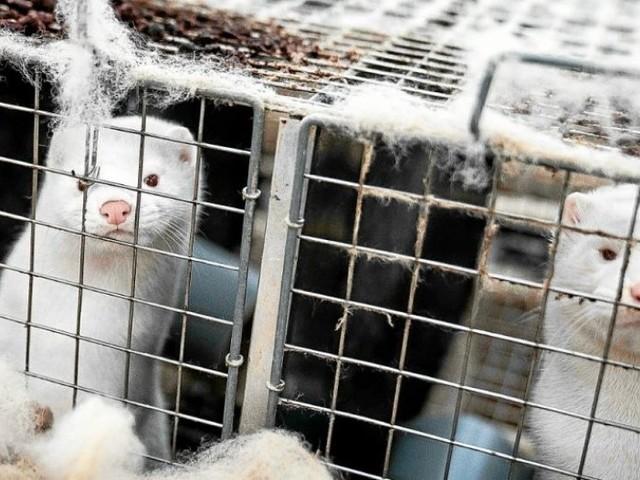 Un premier élevage de visons contaminé à la covid-19 en France, 1000 animaux abattus en Eure-et-Loir