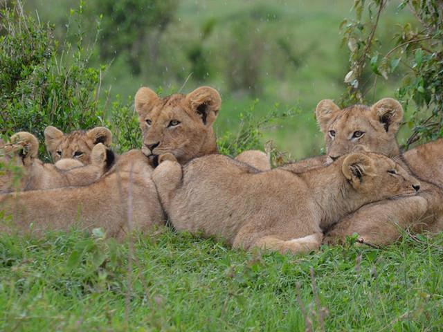 Des lions sont lâchement empoisonnés pour de simples parcelles de terre