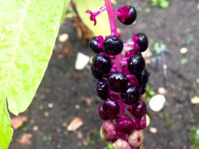 De la plante au médicament (2/4) : De la plante à la molécule de synthèse
