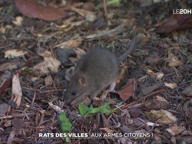 Rats des villes : aux armes citoyens !