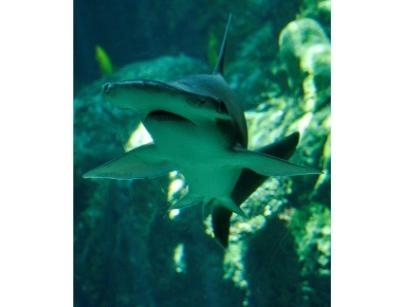 GPS naturel: les requins se repèrent grâce au champ magnétique de la Terre