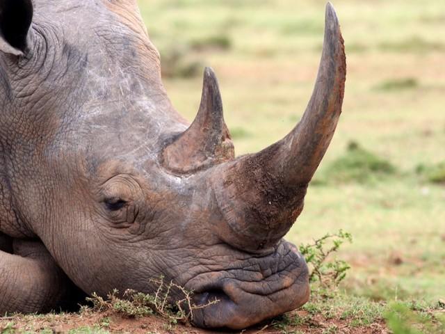 Pour les sauver du braconnage, les scientifiques ont créé des fausses cornes de rhinocéros