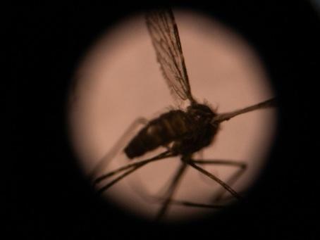 Stériliser les moustiques pour combattre des maladies? L'ONU tente le pari
