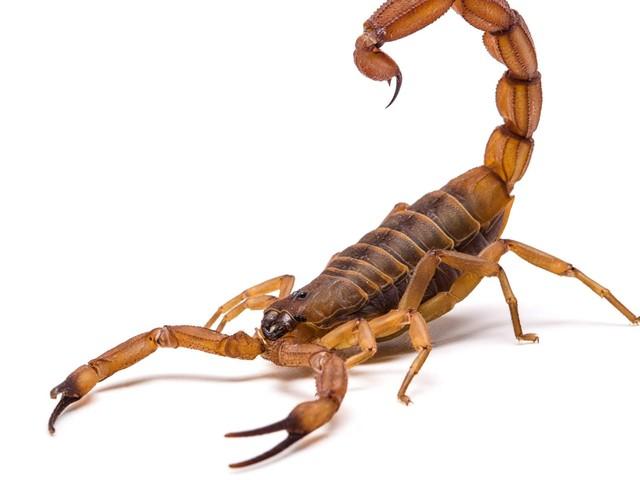 Ce scorpion serait le premier animal à avoir marché sur le sol terrestre