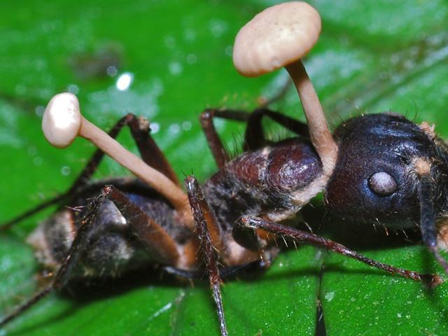 Ce champignon terrifiant envahit le corps des fourmis pour les «zombifier»