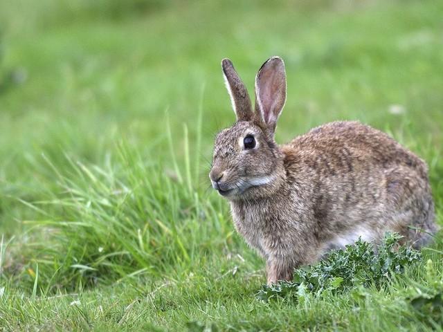 À Paris, les lapins des Invalides obtiennent un répit devant la justice