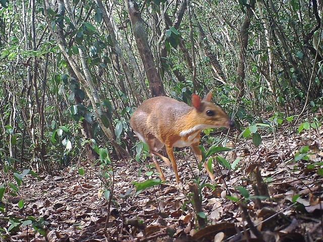 Des souris-cerf que l'on croyait disparues ont été observées au Vietnam