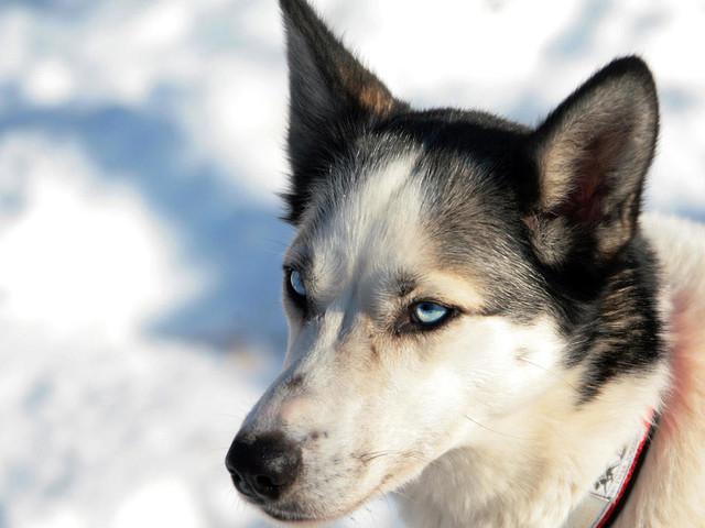 Les chiens ont accompagné les premiers humains sur le continent nord-américain