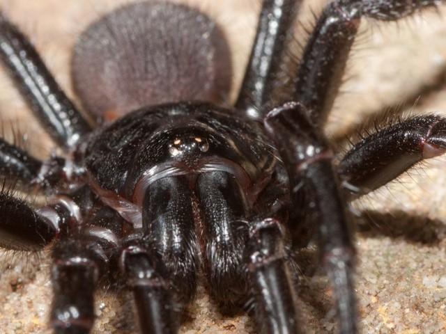 Cette protéine issue du venin d'une araignée empêche la mort cellulaire après une crise cardiaque