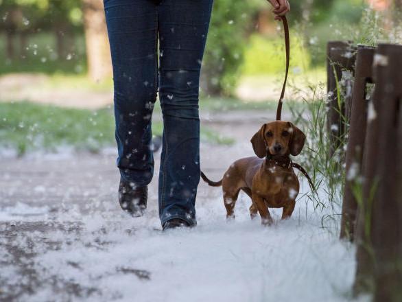 L'erreur d'un vétérinaire américain coûte la vie à un chiot teckel
