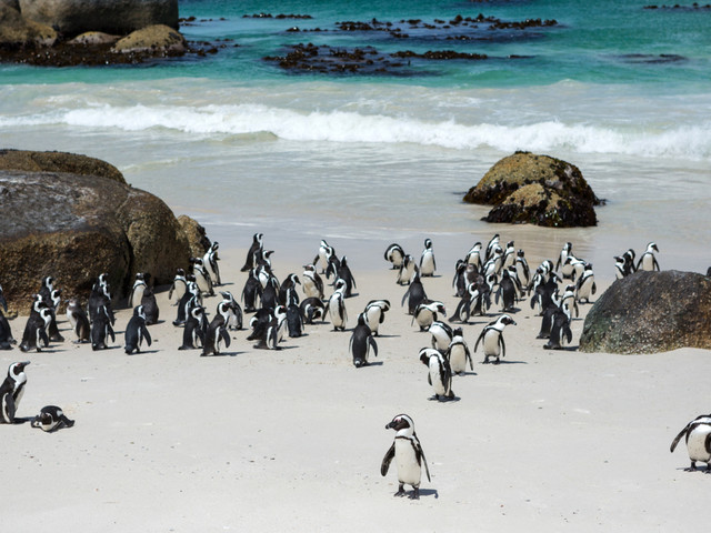 Des dizaines de pingouins menacés d'extinction tués après avoir été piqués par des abeilles