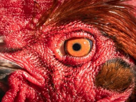 Un homme arrache la tête d'un coq vivant: la Fondation Bardot porte plainte