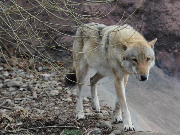 Une meute de loups entame une «chasse à l'homme» en Russie – vidéo