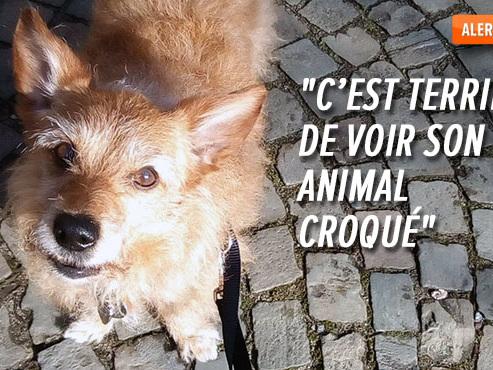 """Rufus, le chien de Maïtée, tué sauvagement par un """"American Bully"""" en liberté à Namur: que risque le propriétaire du chien?"""