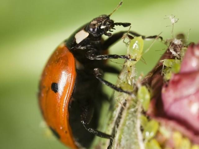Remplacer les pesticides par des insectes ? C'est possible